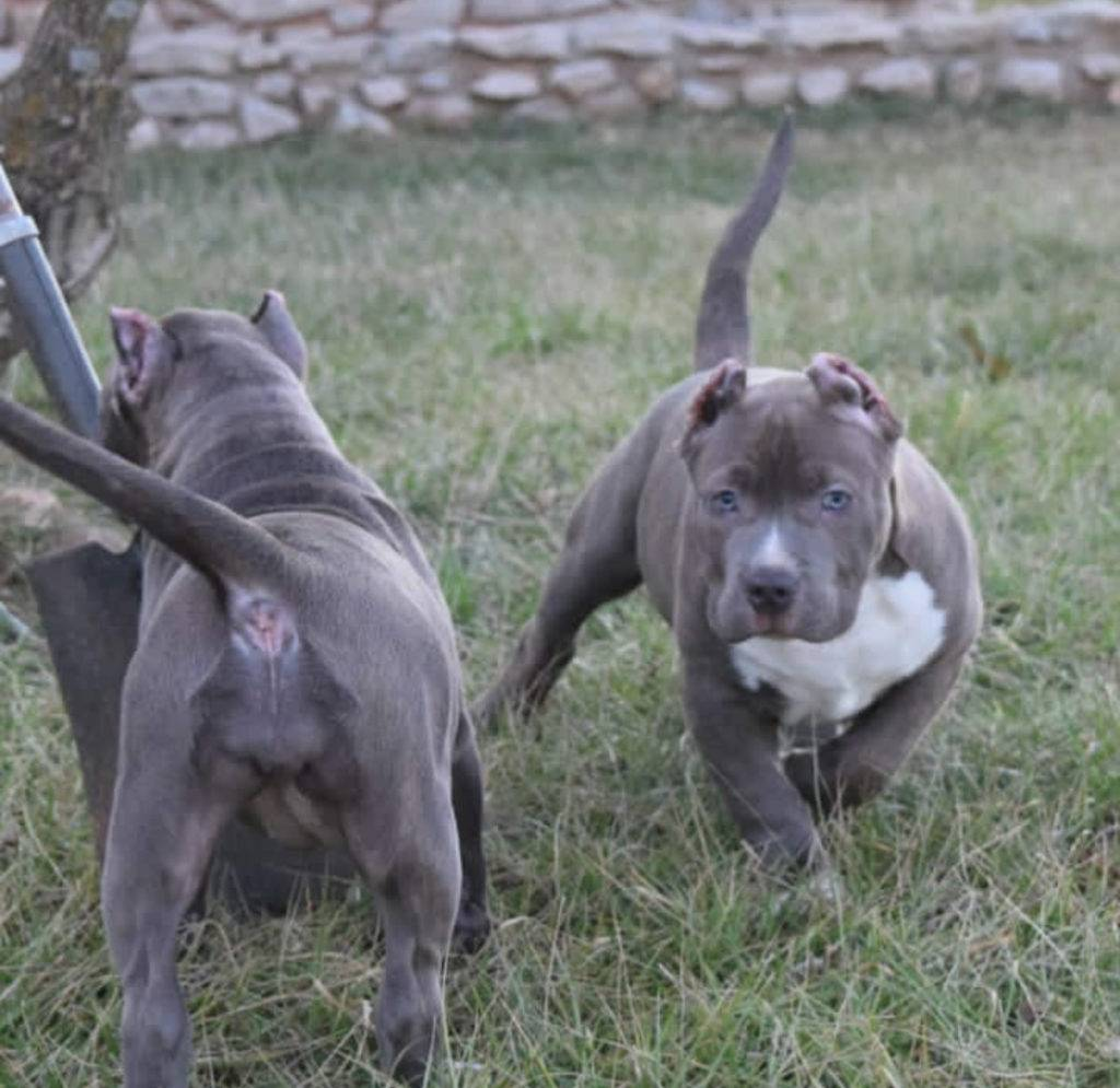 Pitbul XXL Puppies