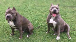 american bully puppy pictures