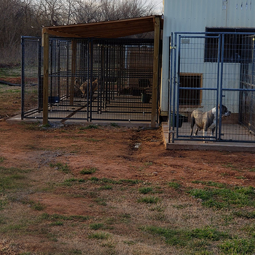 XL American Bully Pitbull breeders and kennels in oklahoma